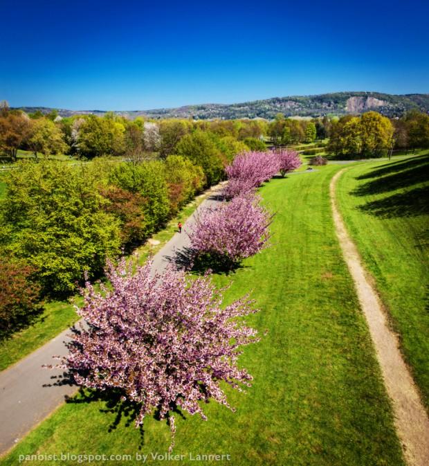 Blühende Kirschblüten in der Rheinaue